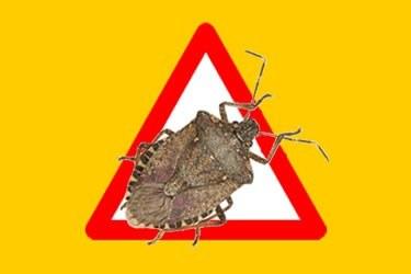 Control de la plaga del bernat marró marbrejat (Halyomorpha halys)
